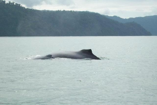 Humpback Whale mother and baby in Golfo Dulce, Costa Rica