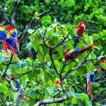 Scarlet-Macaws