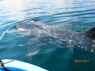 Whale Sharks Sighting at Nicuesa Lodge!