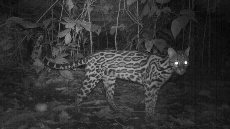 An Ocelot captured on a camera trap in the jungle at Nicuesa Lodge in Costa Rica