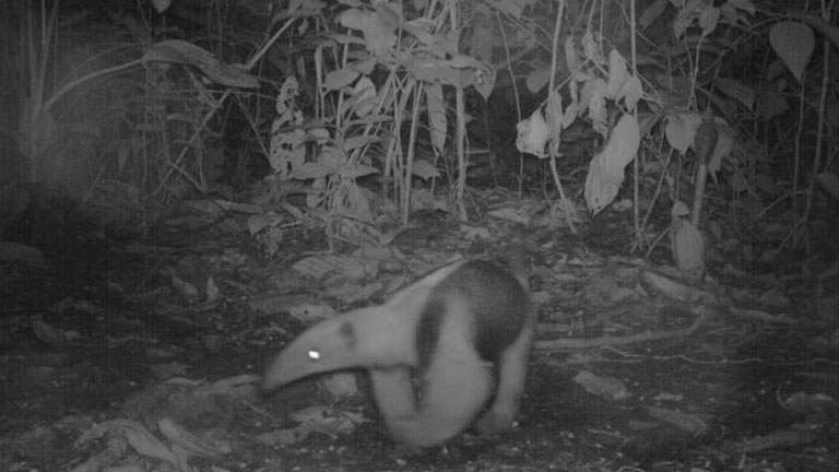 Collared Anteater at night in the jungle at Nicuesa Lodge, captured on a camera trap