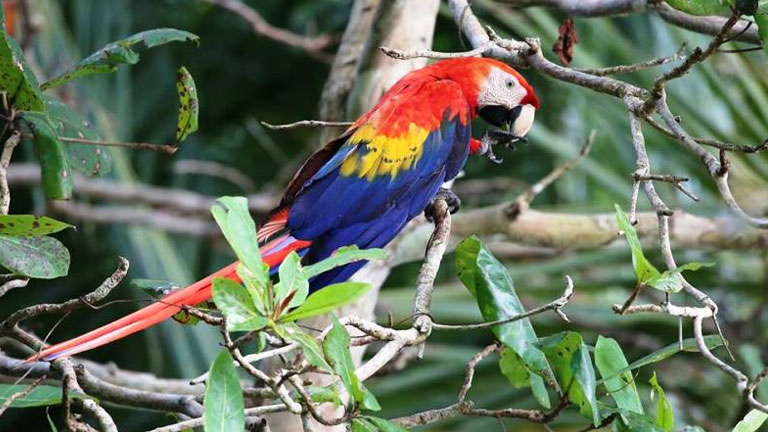 Scarlet Macaw at Playa Nicuesa Rainforest Lodge in Costa Rica
