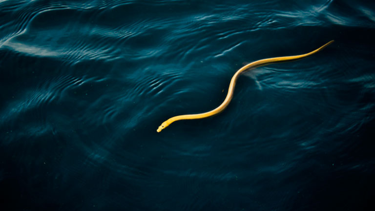 Sea snake in Golfo Dulce, Costa Rica, photo by Karla Umana