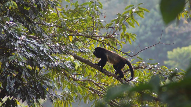 A mantled howler monkey on the prowl in Corcovado National Park