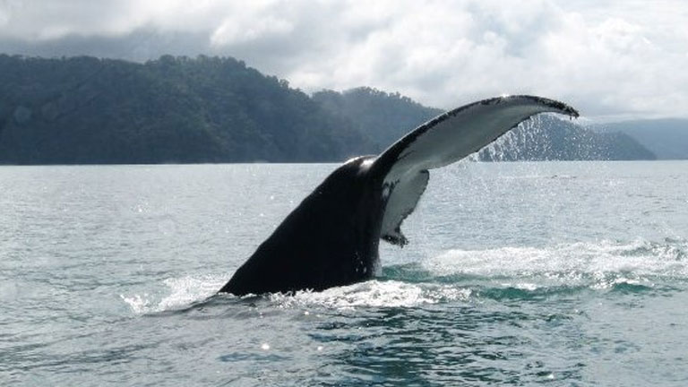 It's humpback whale watching time in Golfo Dulce, Costa Rica! Photo by CEIC.