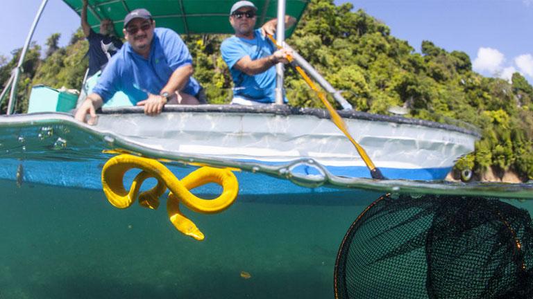 Yellow Sea Snake in Costa Rica