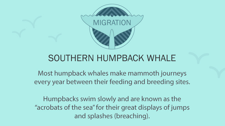 Humpback Whale migration facts