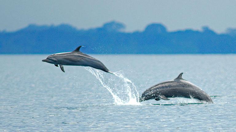 Humpback Whales come to Costa Rica's Golfo Dulce