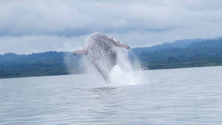 A humpback whale breaches in Golfo Dulce in Costa Rica.