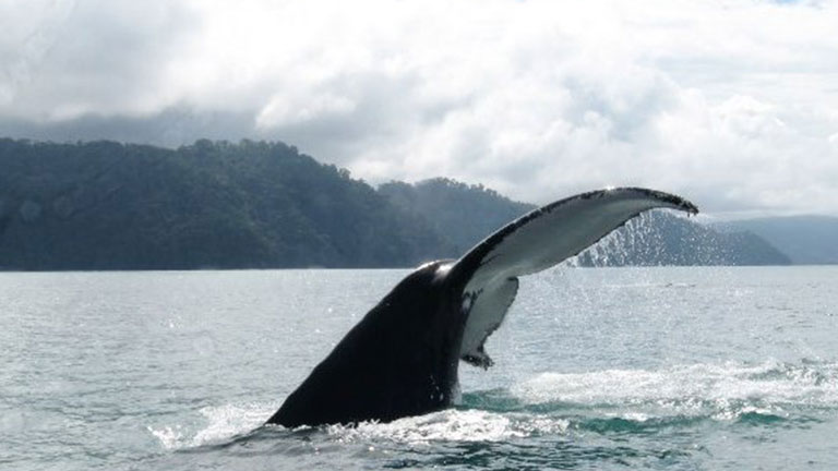 Humpback whales visit Golfo Dulce from July through September, photo by CEIC