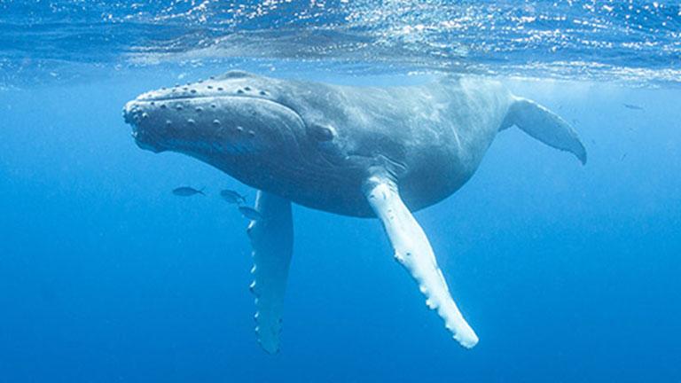 Humpback Whale, photo courtesy of the National Wildlife Federation