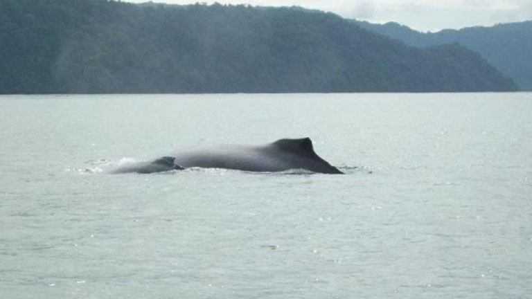 A humpback whale mother swims with her baby in Golfo Dulce, Costa Rica.