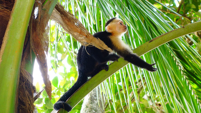 Monkeying around at Playa Nicuesa in Costa Rica