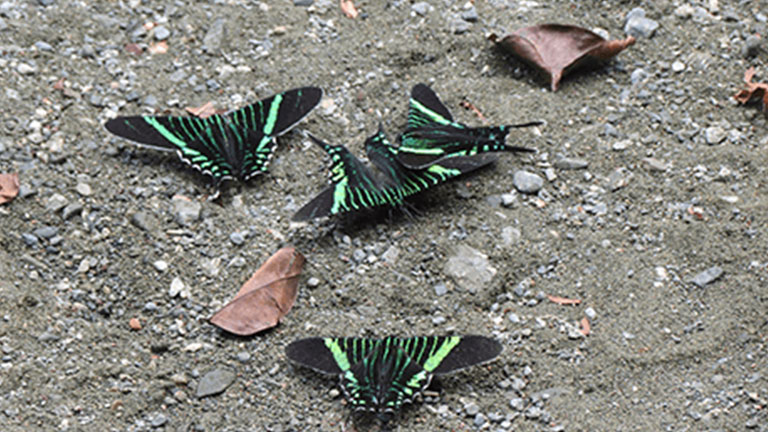 Insects like these Green Page Moths (Urania fulgens) are being studied at Nicuesa Lodge by Insectopia.