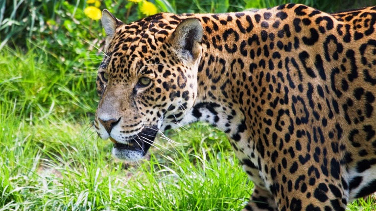Nicuesa Lodge Joins Jaguar Conservation in Costa Rica
